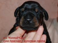 suka-krasnaia-s-zolotom-2