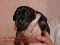 suka-krasnaia-s-zolotom-3
